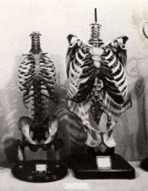 Geraamtes van mens en gorilla, te zien bij Tentoonstelling De Mensch
